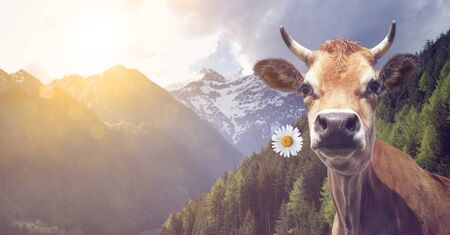 Cow with flower in the mouth oin mountains