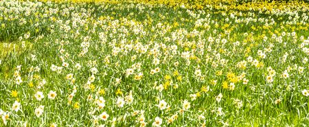 Spring meadow with daffodils and Easter bells