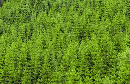 Young green coniferous forest made of fir trees