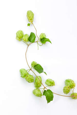 Hop tendril against a white background