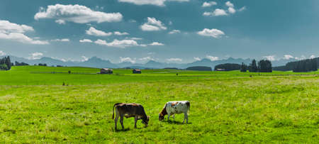 Cows on a pasture in Allgäu landscape in summer