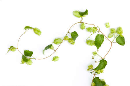 Hop tendril against white background Фото со стока - 168100193