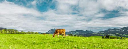 Cow on a pasture in Allgäu landscape in summer