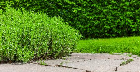 Savory in the herb garden