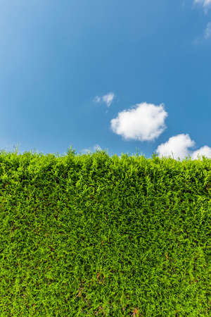 Thuja hedge against a blue sky close-up 스톡 콘텐츠
