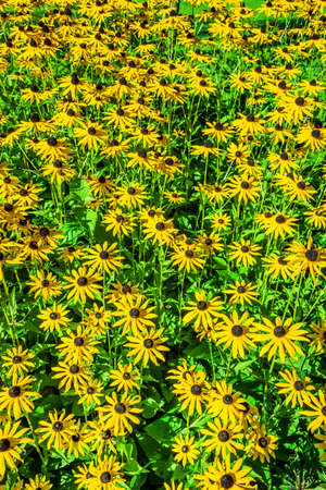 Flowerbed with yellow sun hat flowers 스톡 콘텐츠