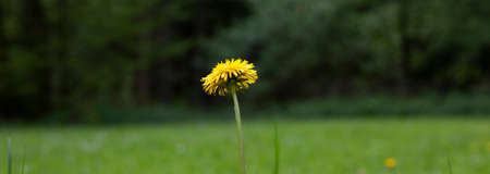 Yellow dandelion blossom at the edge of the forest 스톡 콘텐츠