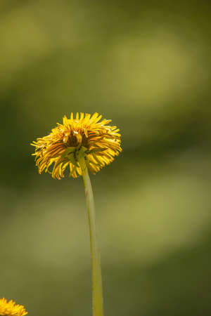 Yellow dandelion blossom against a blurred background