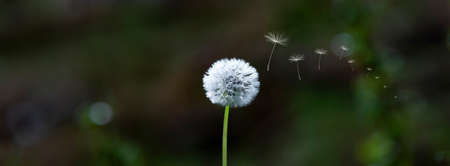 Dandelion blowball with flying seeds with sunlight