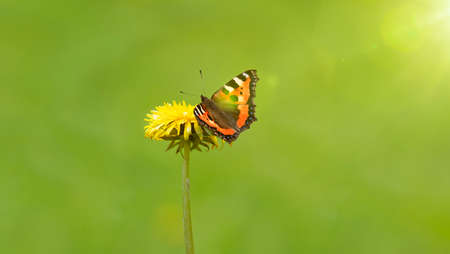 Yellow dandelion flower with butterfly