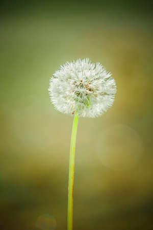 Dandelion blowball with sunlight