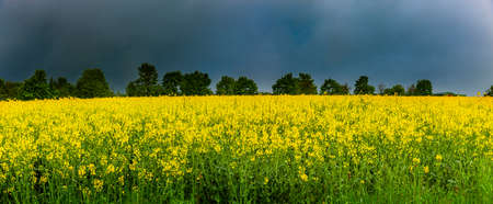 Yellow rapeseed field in front of dark storm clouds 스톡 콘텐츠