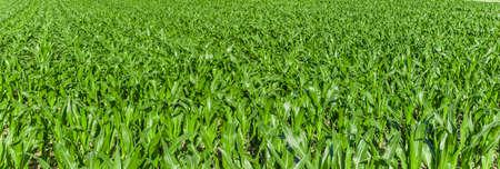 Young green corn field in summer Zdjęcie Seryjne