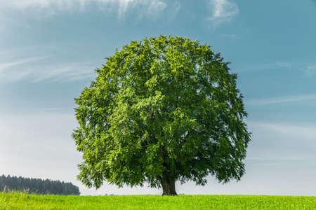 Big Old beech tree on meadow Zdjęcie Seryjne