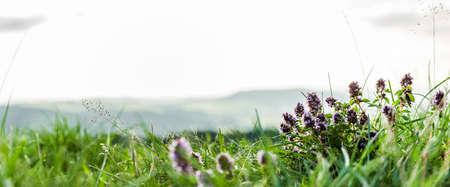 Thyme herb in the high altitudes of the Rhön Zdjęcie Seryjne