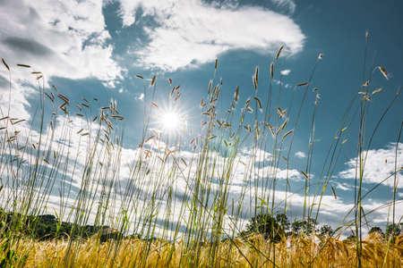 Ripe golden barley field close-up in backlit