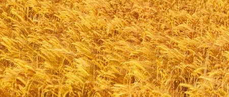 Ripe golden barley field close-up