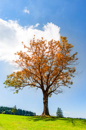 Tree in autumn on a meadow in Indian summer