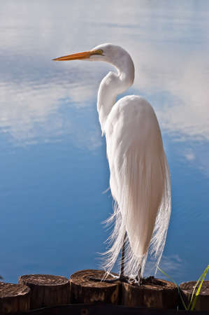 heron: Great Egret