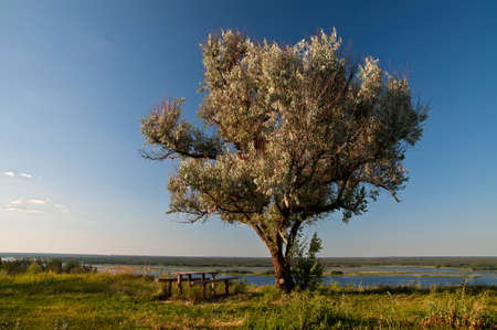 Old wild olive tree, a table and benches on the banks of the Dnieper, Kiev region, Ukraine photo