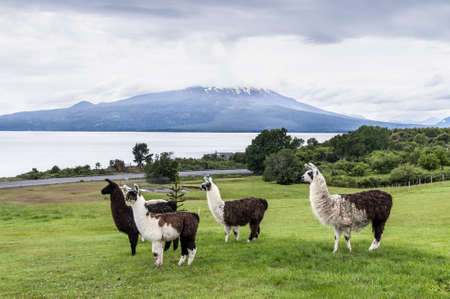 Alpaca and Osorno Volcano on a cloudy day, Lake Region, Chile photo