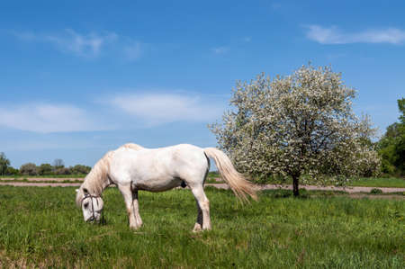 White horse grazing on the green lawn near Apple tree in spring with white blossoms photo