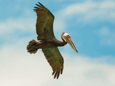 thomas: Pelican Flying in a Blue Sky, St. Thomas, Virgin Islands Stock Photo