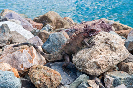 thomas: Marine Iguana at the Coast of St. Thomas, U.S. Virgin Islands