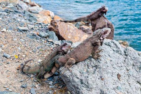 thomas: U.S. Virgin Islands, St. Thomas: Marine Iguanas