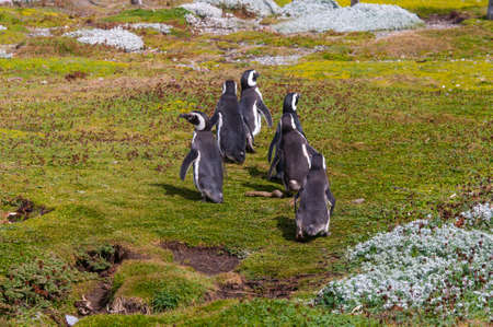 animal behavior: Group of Magellanic penguins at the Patagonian coast, Chile