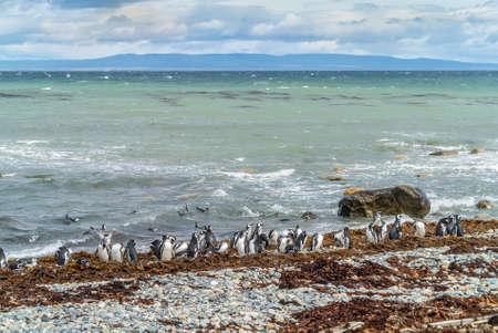 arenas: Colony of Magellanic Penguins (Spheniscus magellanicus) at Seno Otway close to Punta Arenas in Patagonia, Chile