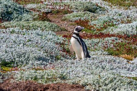 Colony of Magellanic Penguins (Spheniscus magellanicus) at Seno Otway close to Punta Arenas in Patagonia, Chile