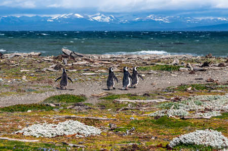 punta arenas: Many Magellanic penguins in natural environment on Seno Otway Penguin Colony near Punta Arenas in Patagonia, Chile, South America