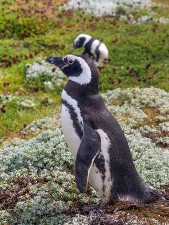 arenas: Magellanic Penguin, Seno Otway - Punta Arenas, Chile Stock Photo
