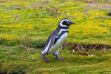 Walking Magellanic Penguin, Seno Otway - Punta Arenas, Chile
