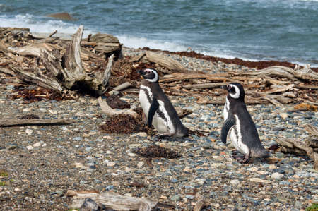 punta arenas: Two Magellanic penguins at the Otway Sound penguin colony in Punta Arenas, Chile