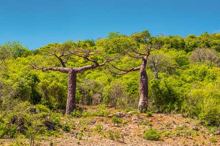 adansonia: Baobab trees in Madagascar