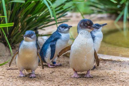 marked down: Little Blue Penguin in wildlife park, Australia