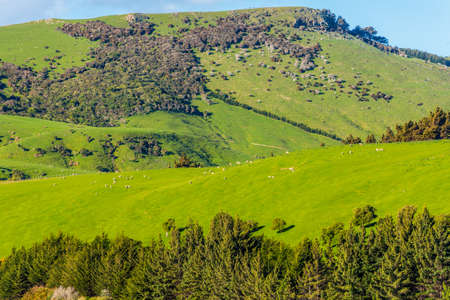 green fields: Sheep and pastures in the New Zealand - hills covered by green grass with herds of sheep -near Dunedin at Otago Region Southern island New Zealand Stock Photo