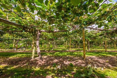 Kiwi fruit orchard Te Puke Area North Island New Zealand