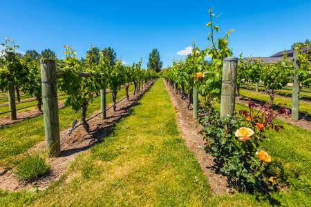 wine country: Napier, New Zealand - November 19, 2014: New Zealands wine country is located in Napier near Hawkes Bay - Vineyards North Island New Zealand.