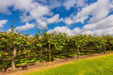 actinidia deliciosa: Kiwi fruit (Actinidia deliciosa) plantation, New Zealand Stock Photo