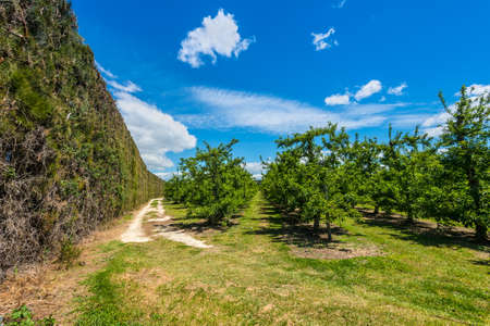 High hedge and orchard near Napier in North Island - New Zealand - a piece of land planted with fruit trees Stock Photo