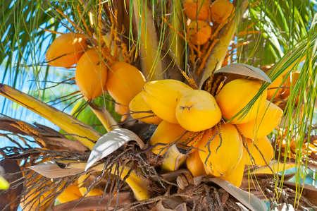 Coconut Palm tree at Aruba