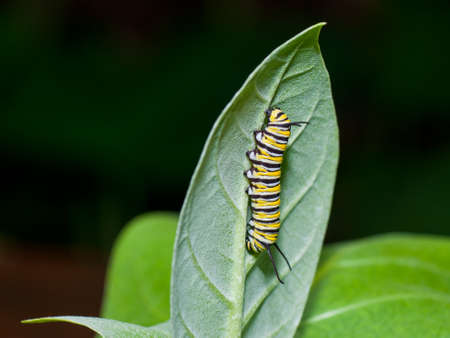A monarch caterpillar is crawling on a milkweed leaf, showing his yellow, white and black stripes.