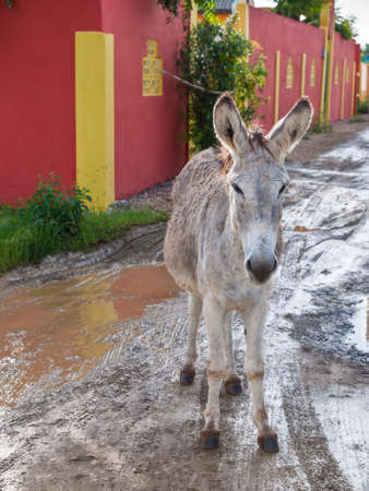 spaniards: A wild donkey (Equus asinus) on the road in Bonaire, originally brought to the island by the Spaniards in the 17th century, many donkeys still roam free, while others have been moved to the Donkey Sanctuary to help prevent accidents with cars.
