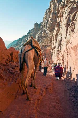monte sinai: Monte Sinaí, Egipto - 25 de noviembre de 2010: guía de Camel ofrece peregrinos ayudan en el descenso del Monte Sinaí el 25 de noviembre de 2010 en el distrito de St. Catherine, Egipto. Los camellos se utilizan a menudo para ayudar a los turistas fatigados de escalada de la cumbre de 2285m. Editorial