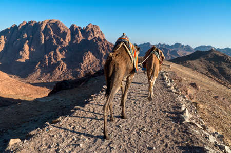 mount sinai: Bedouins and his camels descending from Mount Sinai in Egypt shortly after sunrise