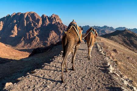monte sinai: Beduinos y camellos que descienden desde el Monte Sinaí en Egipto poco después de la salida del sol
