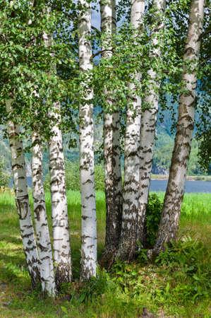 arboleda: Birch Grove en los bosques de Noruega Foto de archivo